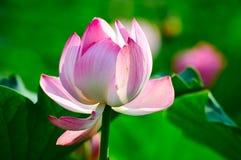 秀丽的莲花 库存图片