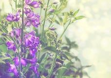 秀丽紫罗兰色翠雀在庭院里在晴天 无言定调子 花卉背景n 免版税图库摄影