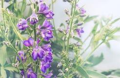 秀丽紫罗兰色翠雀在庭院里在晴天 无言定调子 花卉 免版税库存图片