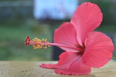 秀丽红色木槿花 库存图片