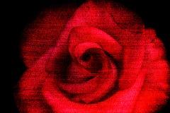 秀丽红色玫瑰,抽象牛仔裤构造花背景 库存照片