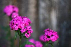 秀丽红色花 库存照片
