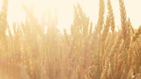 秀丽自然被日光照射了词根黑麦麦子移动的火光 影视素材
