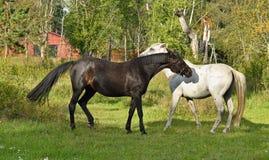 秀丽良种母马和公马平凡 免版税库存照片