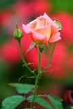秀丽草本玫瑰色茶 免版税库存照片
