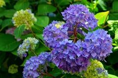 秀丽蓝色八仙花属 图库摄影