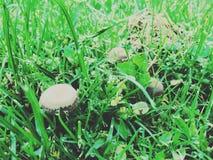 秀丽蘑菇 免版税库存图片