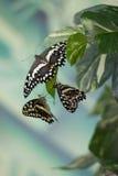 秀丽蝴蝶本质上 库存照片