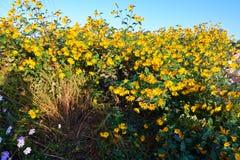 秀丽黄色花在庭院里 免版税库存图片