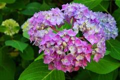 秀丽紫罗兰八仙花属 库存照片