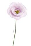 秀丽紫罗兰色南北美洲香草花 图库摄影