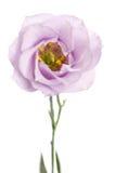 秀丽紫罗兰色南北美洲香草花 库存照片