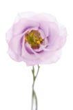 秀丽紫罗兰色南北美洲香草花 库存图片