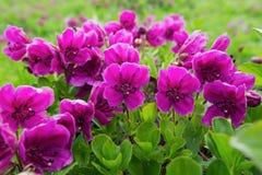 秀丽紫色开花杜鹃花camtschaticum 免版税库存照片