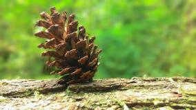 秀丽Pinecone在森林里 免版税库存照片