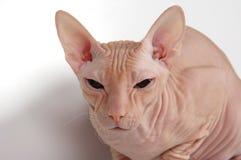 秃头猫 库存照片