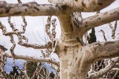 秃头结构树 免版税库存照片