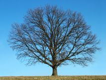 秃头结构树 免版税图库摄影