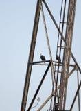 秃头老鹰乐队在电子塔栖息在萨斯奎哈那河,马里兰,美国的Conowingo水坝 库存图片