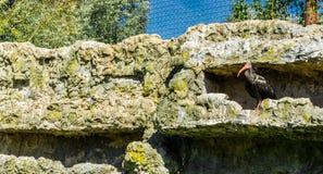 秃头黑隐士朱鹭鸟关闭在他的石墙隐藏处 免版税库存照片