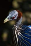 秃鹰似Guineafowl的画象 免版税库存图片