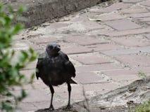 秃头乌鸦 免版税库存图片