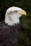 秃头加拿大老鹰 免版税库存照片