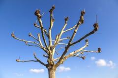 秃头悬铃树(法国梧桐)冬天在蓝天下 免版税库存照片