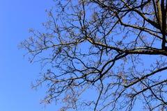 秃头树分支与蓝天的 库存照片