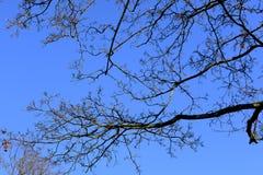 秃头树分支在冬天 库存照片