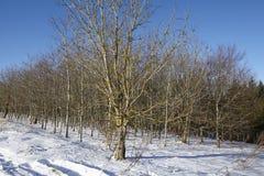 秃头树到snowscape里 免版税库存图片