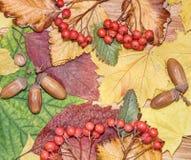 秋叶、红色莓果和橡子当自然背景 免版税库存图片