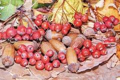 秋叶、红色莓果和橡子 背景蓝色云彩调遣草绿色本质天空空白小束 库存图片