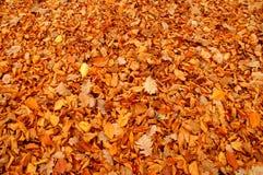 秋叶。 库存图片