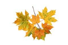 秋叶分支在白色背景的 库存图片