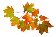秋叶分支在白色背景的 库存照片