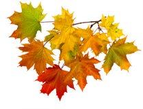 秋叶分支在白色背景隔绝的 图库摄影