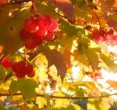 秋叶和浆果 免版税图库摄影
