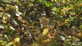 秋叶和浆果 影视素材