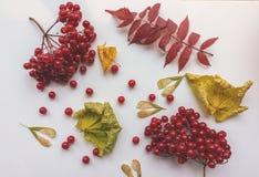 秋叶和红色莓果在白色背景 免版税库存图片