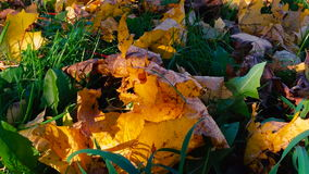 秋叶在一个绿草特写镜头放置 影视素材