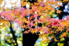 秋叶在日本 库存图片