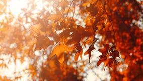 秋叶在早晨阳光,与抽象迷离的软的焦点下 库存图片