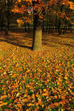 秋叶在橡树下 库存照片
