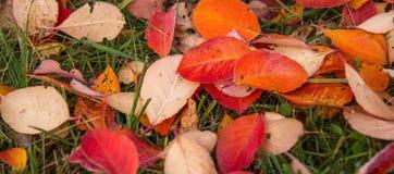 秋叶抽象背景 秋天背景特写镜头上色常春藤叶子橙红 库存照片