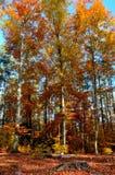 秋叶树8 库存图片