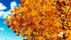 秋叶槭树 影视素材