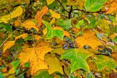 秋叶模式 库存照片