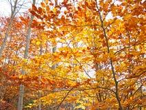 秋叶橙红有些结构树黄色 库存图片