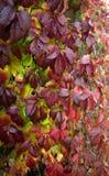 秋叶爬山虎属明亮的分支  图库摄影